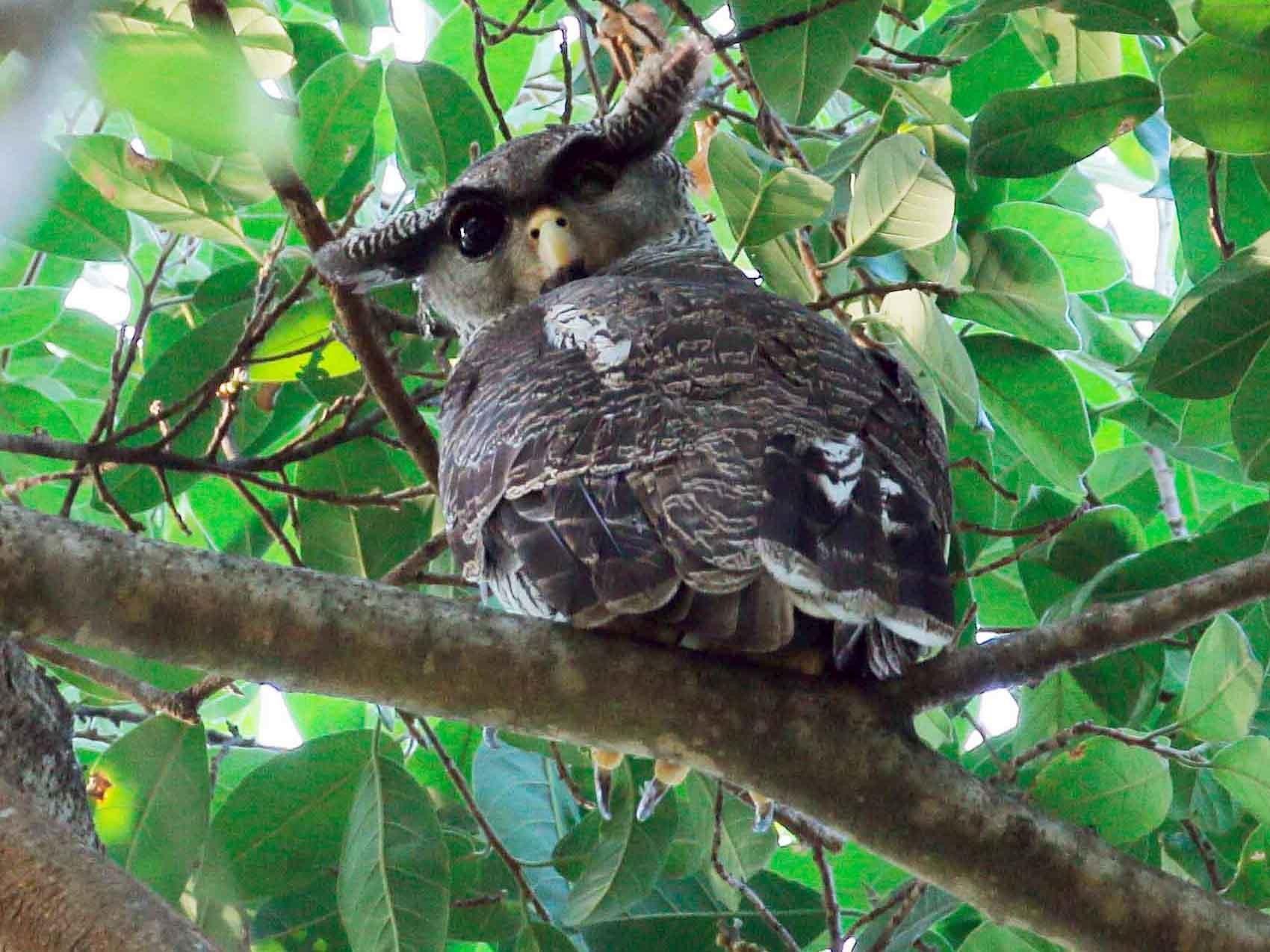 Barred Eagle-Owl - Neoh Hor Kee