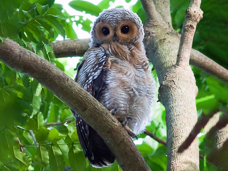 Spotted Wood-Owl - Howard Banwell