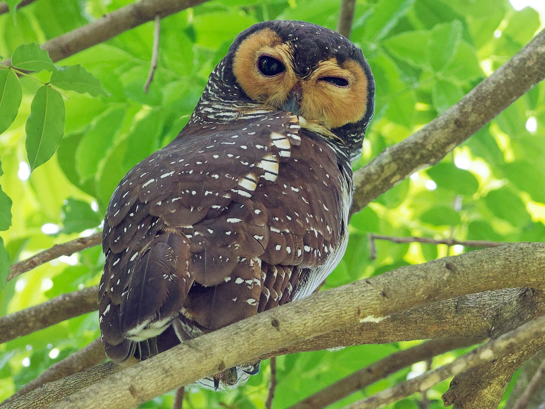 Spotted Wood-Owl - Vincent Wang