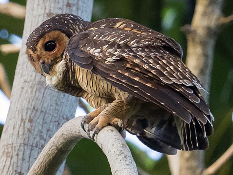 Spotted Wood-Owl - Matthew Kwan