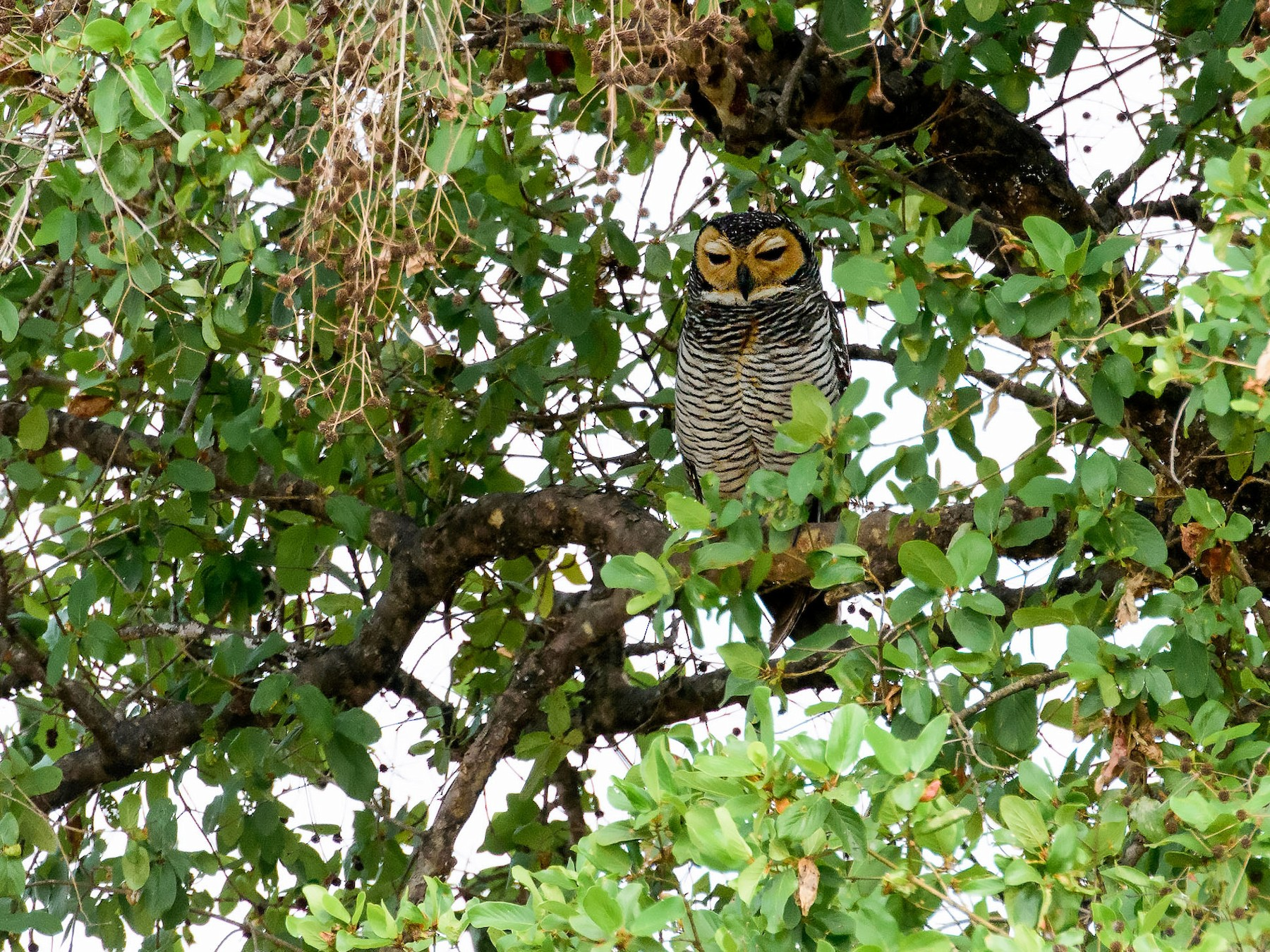 Spotted Wood Owl Ebird