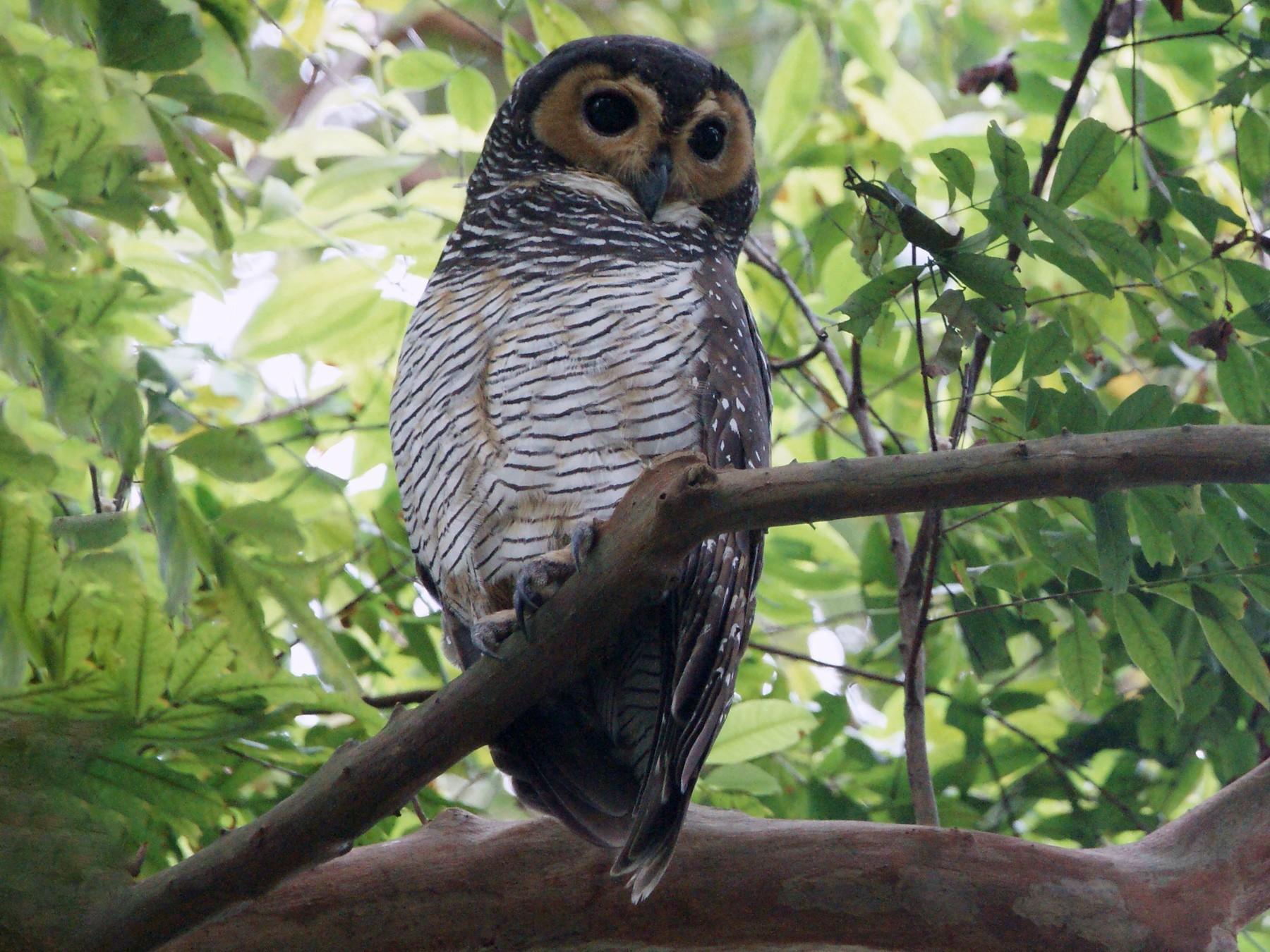 Spotted Wood-Owl - Kian Guan Tay