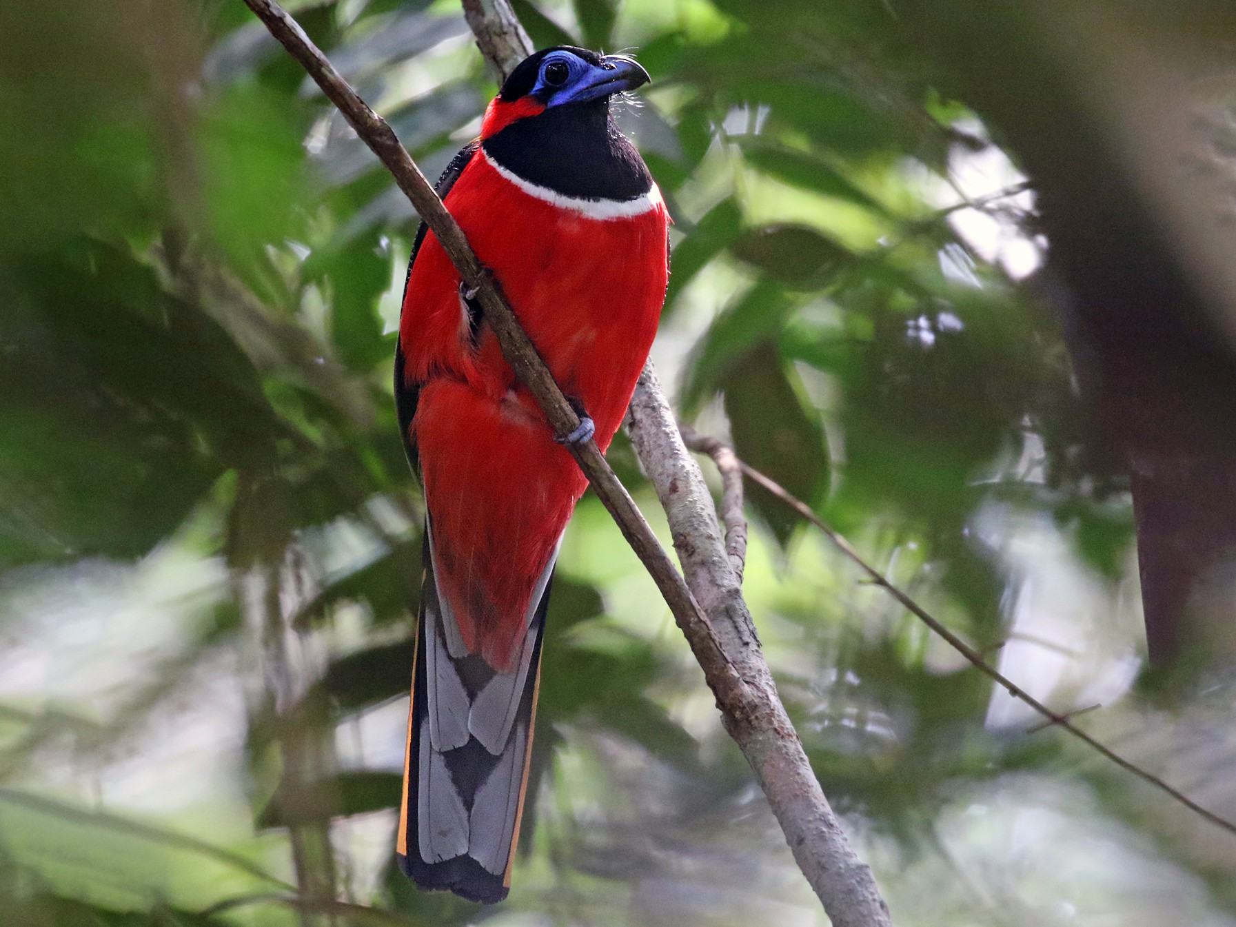 Red-naped Trogon - Dave Bakewell