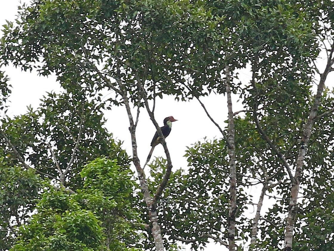 Helmeted Hornbill - Chih-Wei(David) Lin