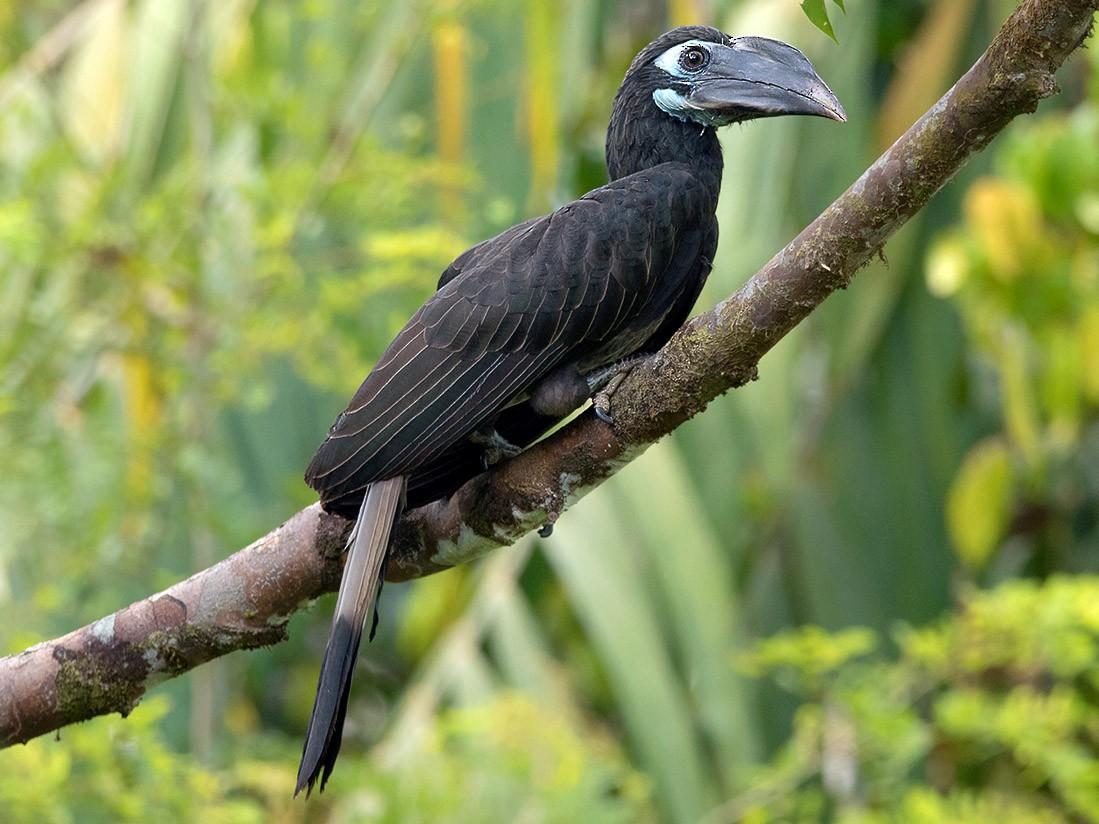 Bushy-crested Hornbill - Ayuwat Jearwattanakanok