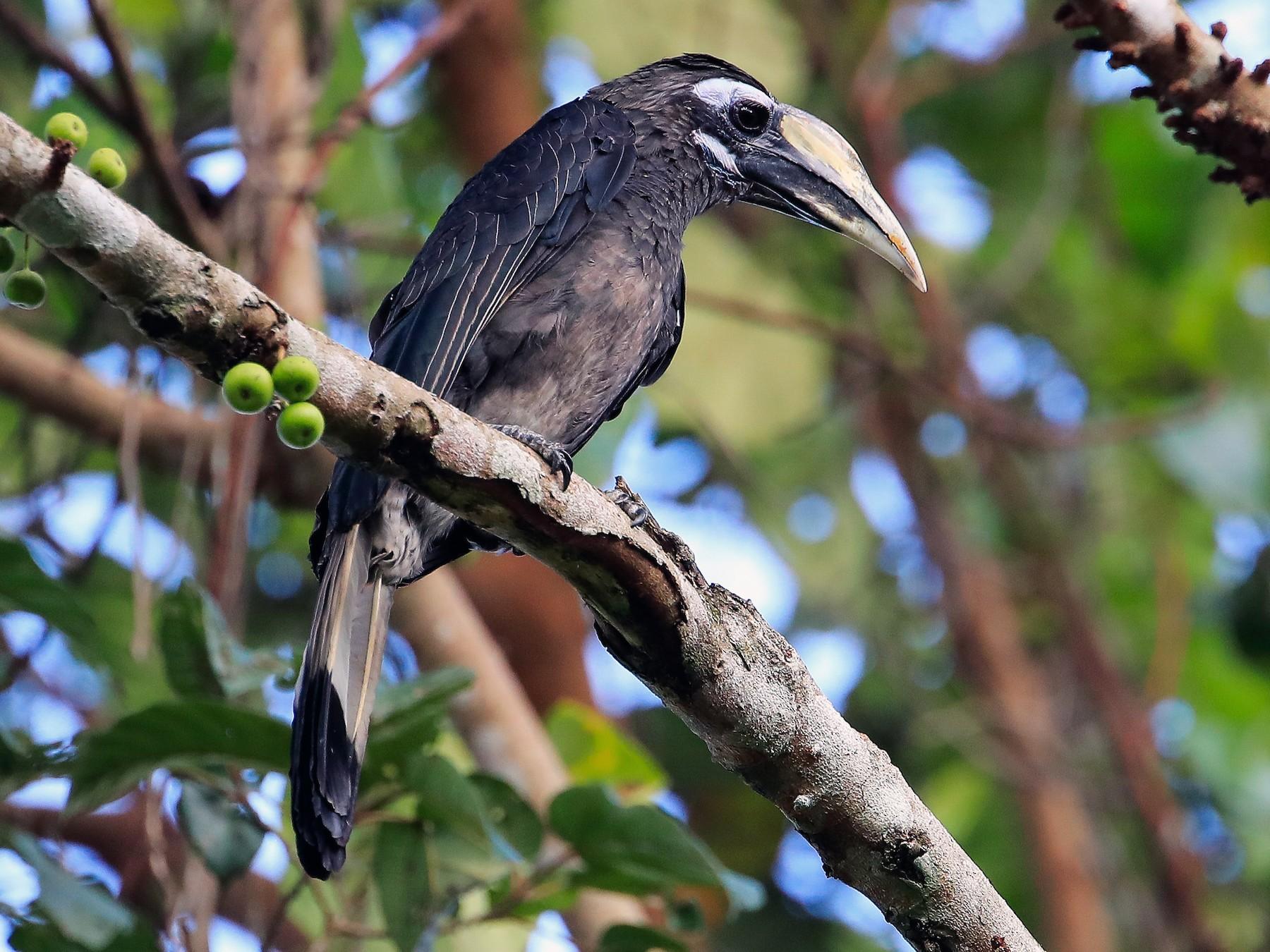 Bushy-crested Hornbill - Lefei Han