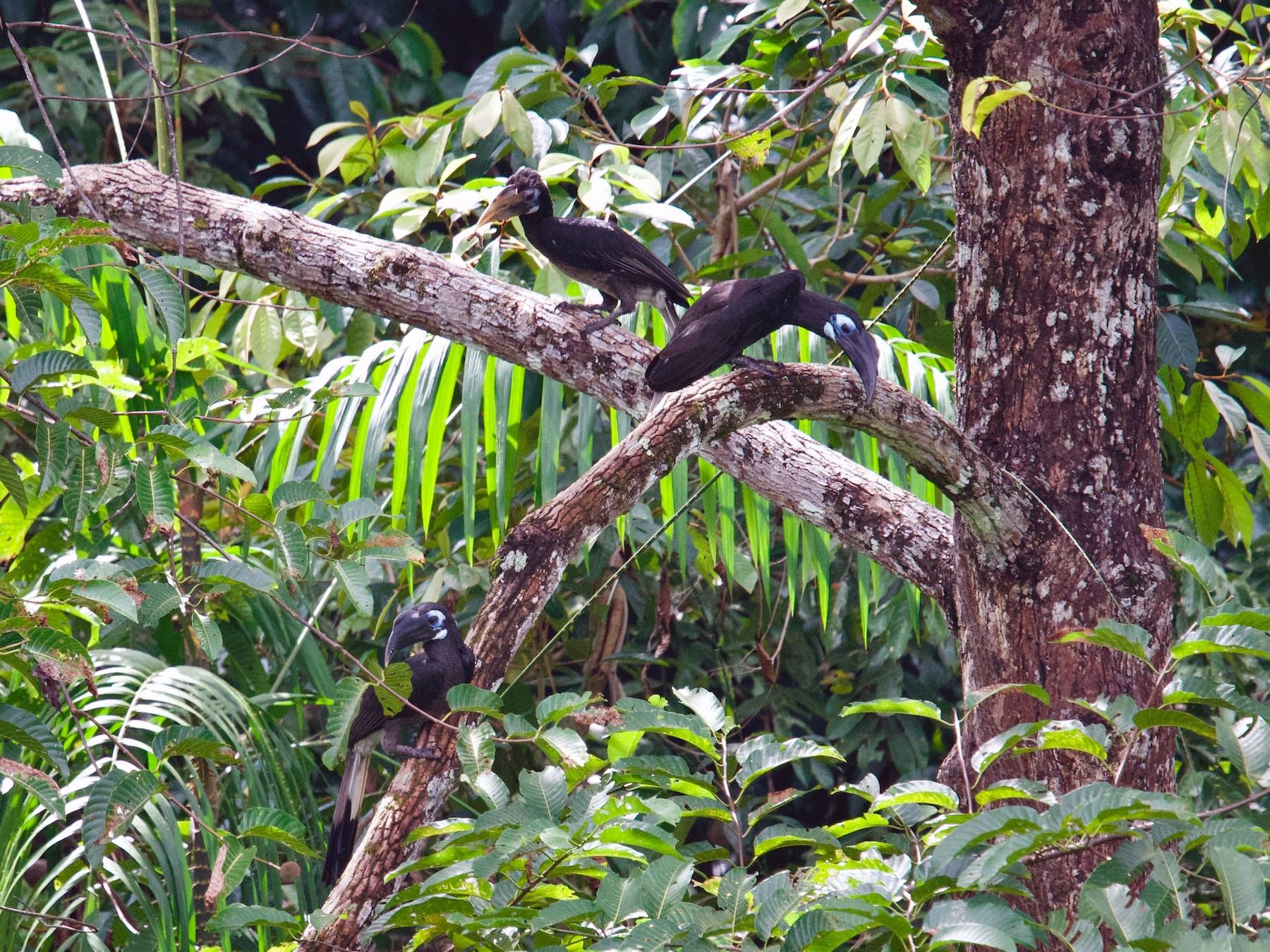 Bushy-crested Hornbill - Qin Huang