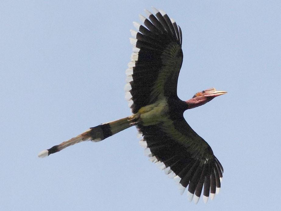 Helmeted Hornbill - Markus Lilje