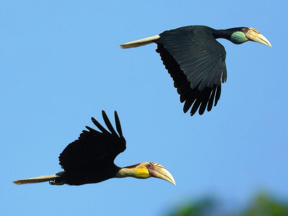 Plain-pouched Hornbill - Ayuwat Jearwattanakanok