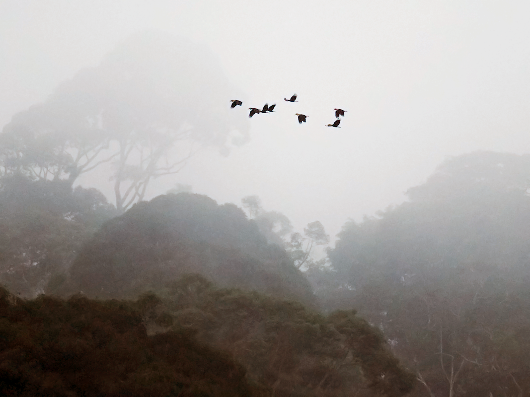 Plain-pouched Hornbill - Wich'yanan Limparungpatthanakij