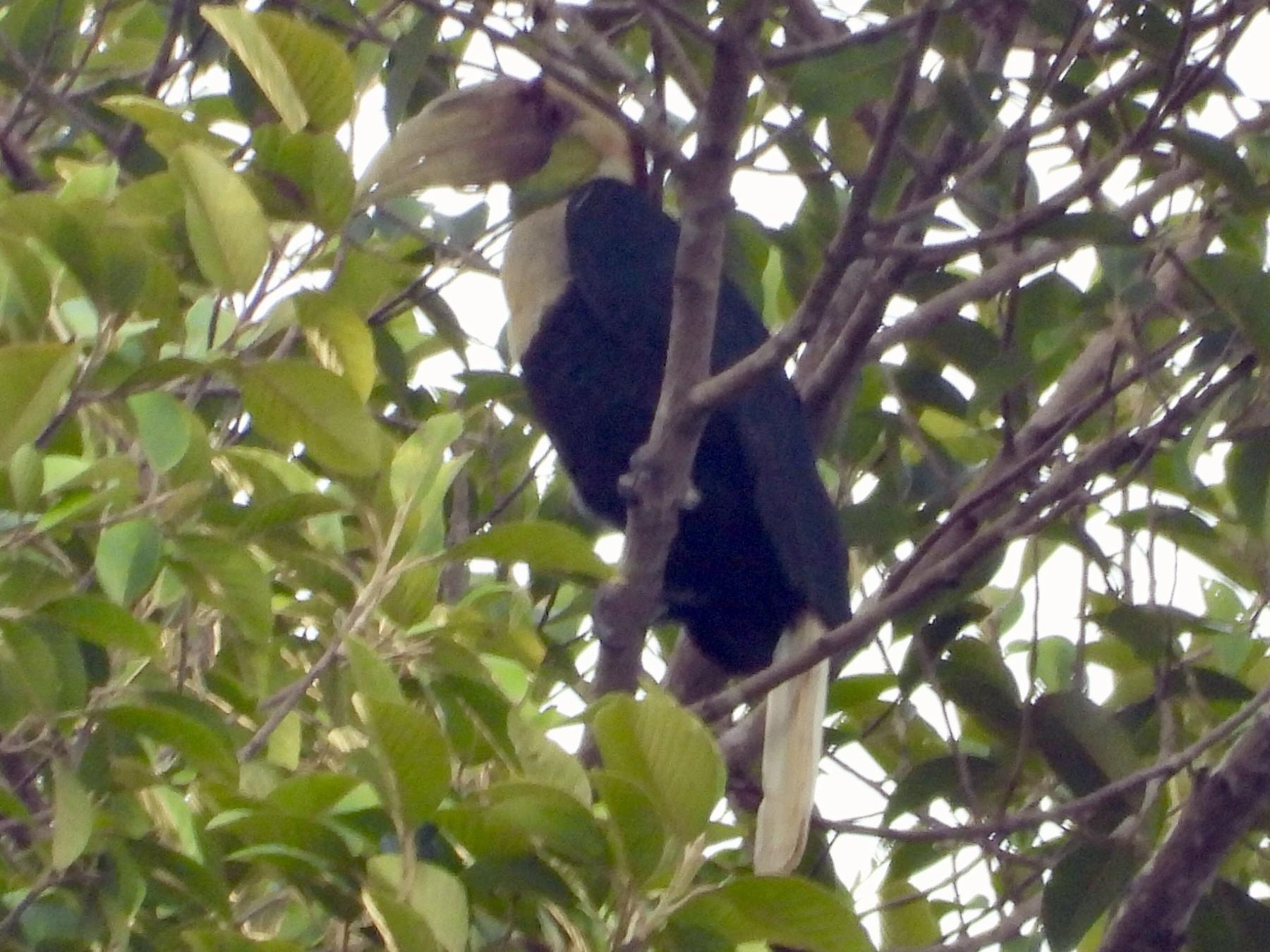 Plain-pouched Hornbill - Ben Weil