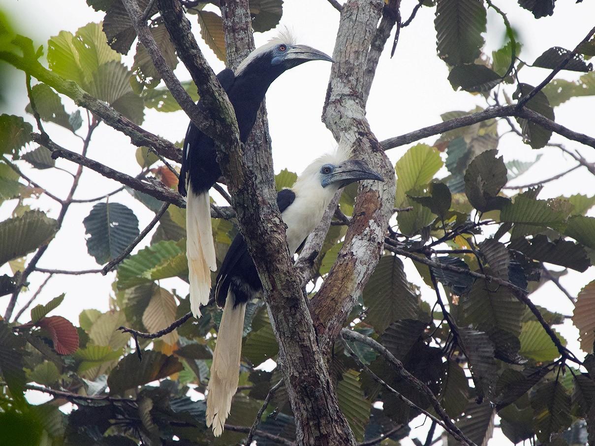 White-crowned Hornbill - Ayuwat Jearwattanakanok