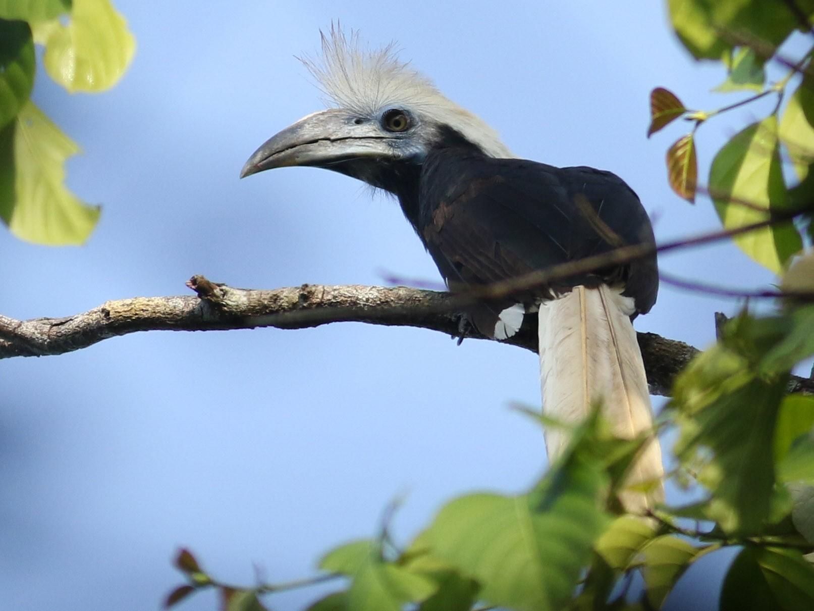 White-crowned Hornbill - Jonathan Eckerson