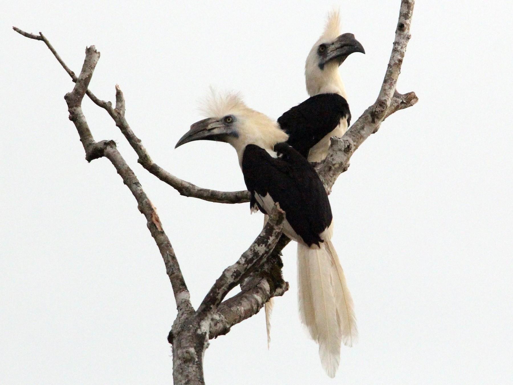 White-crowned Hornbill - Robert Gowan