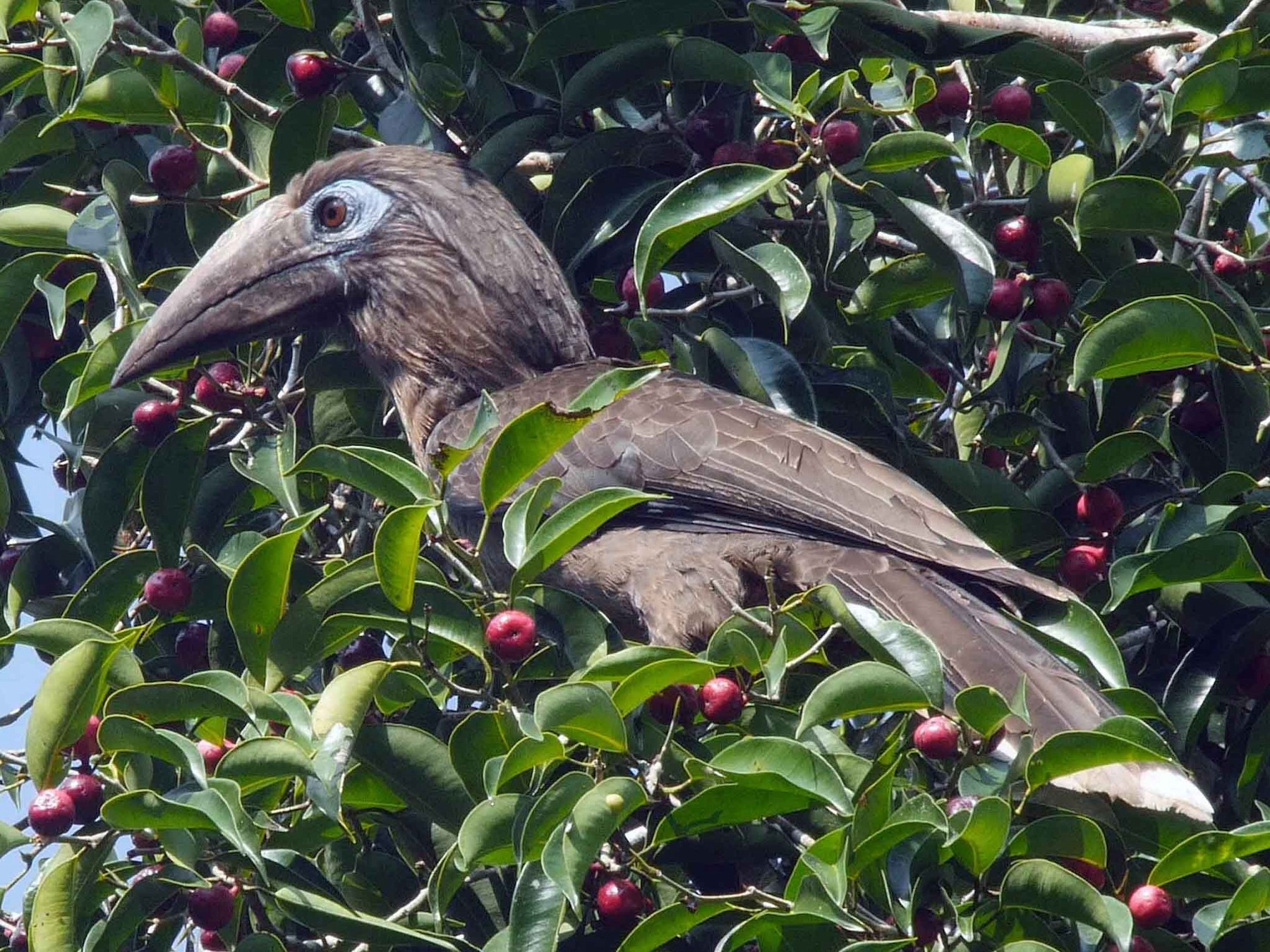 Rusty-cheeked Hornbill - Josep del Hoyo