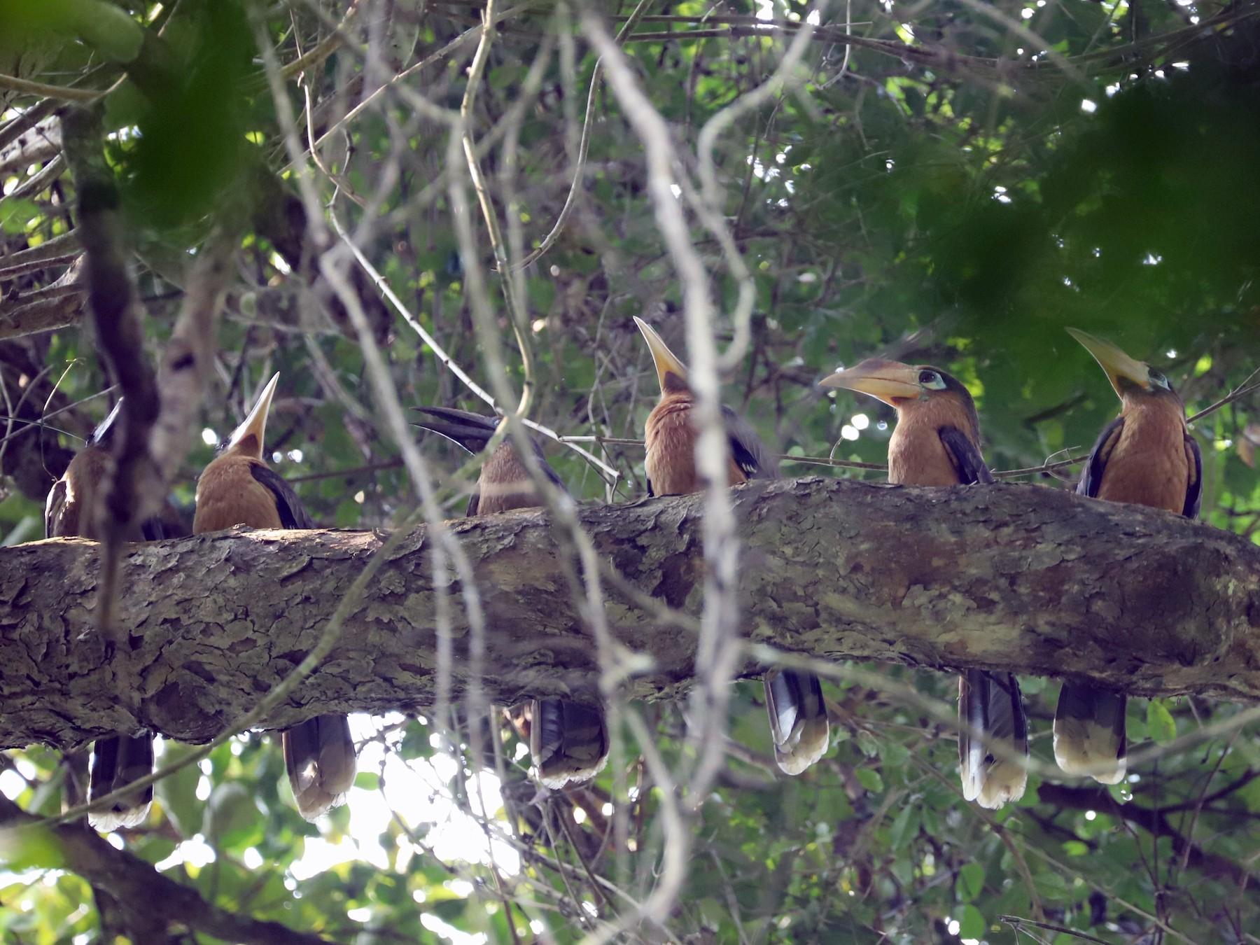 Rusty-cheeked Hornbill - Are Nakrem
