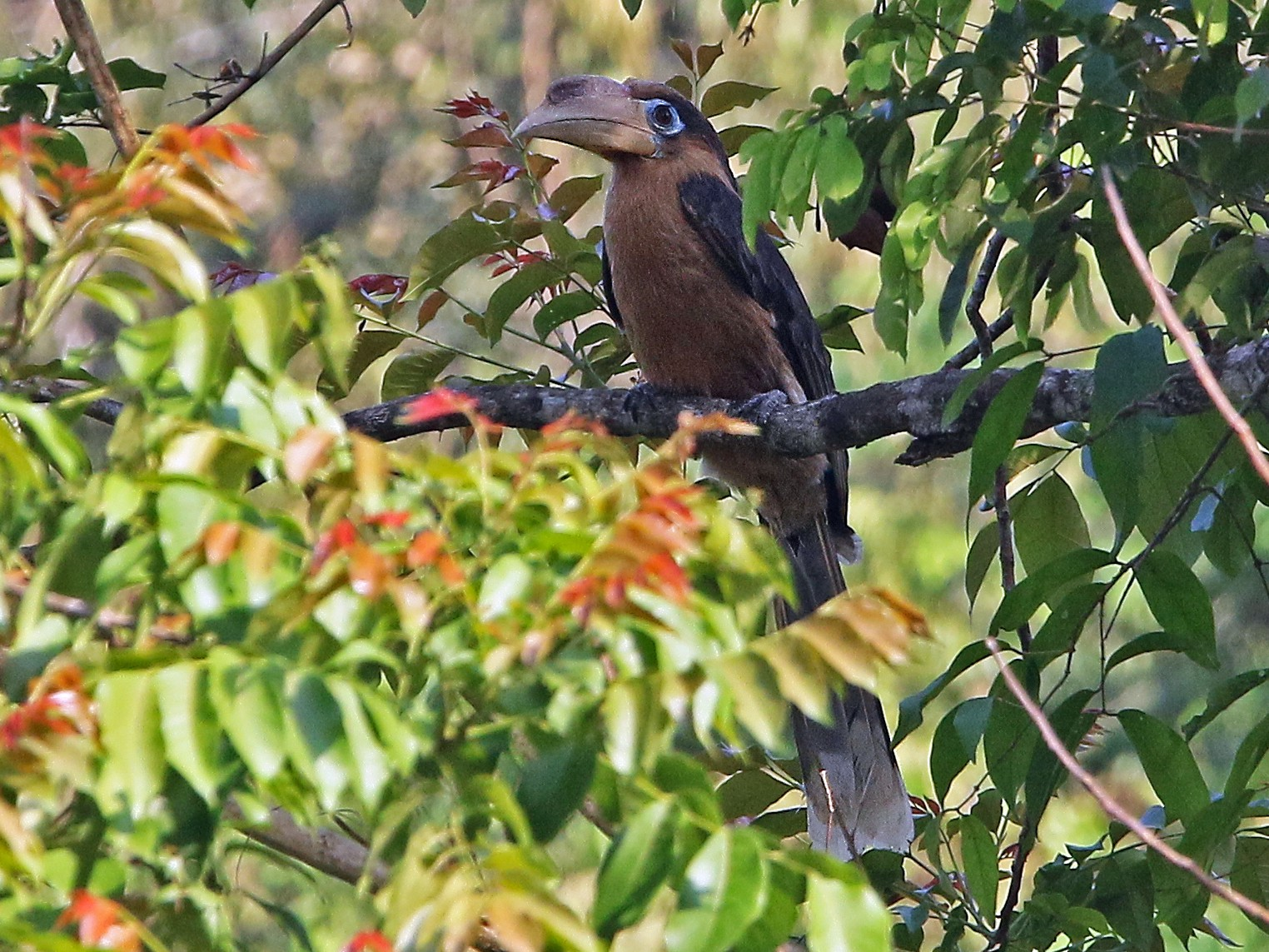 Rusty-cheeked Hornbill - Christoph Moning