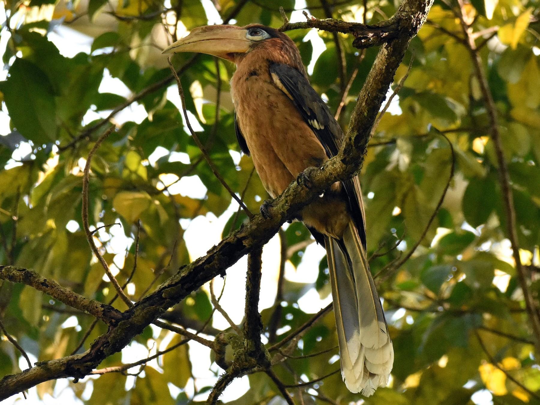 Rusty-cheeked Hornbill - Lukasz Pulawski