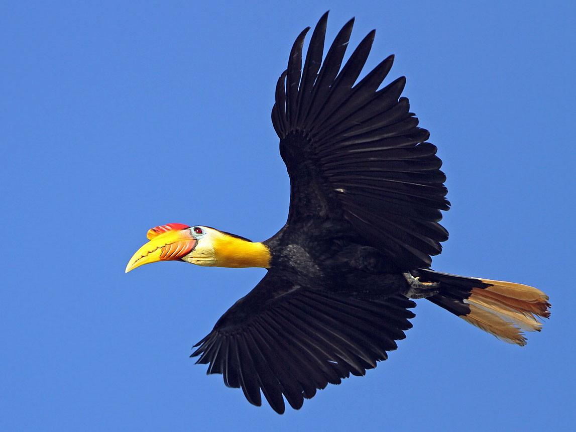 Wrinkled Hornbill - James Eaton