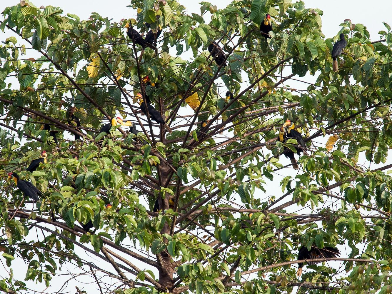 Wrinkled Hornbill - Pattaraporn Vangtal