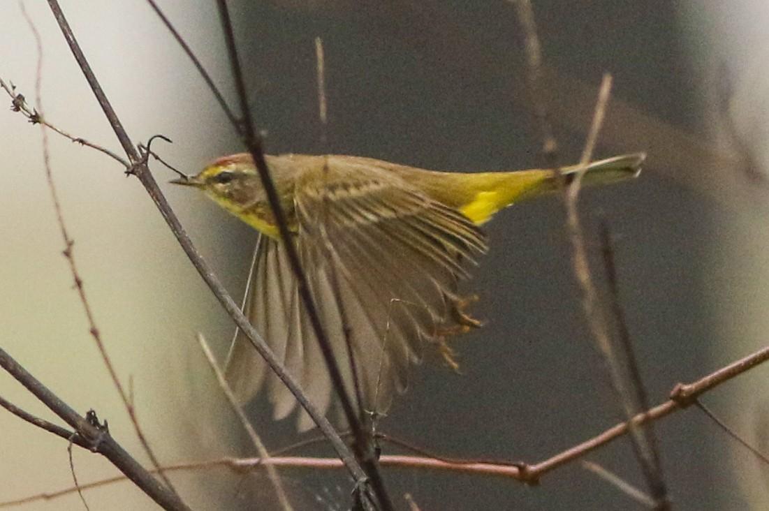 Palm Warbler (Yellow)