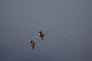 Wood Duck, ML220634941