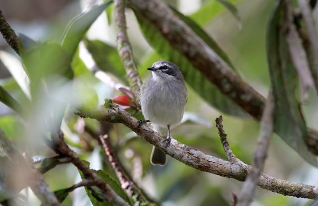 "Paltry Tyrannulet (subspecies <em class=""SciName"">petersi</em>)."