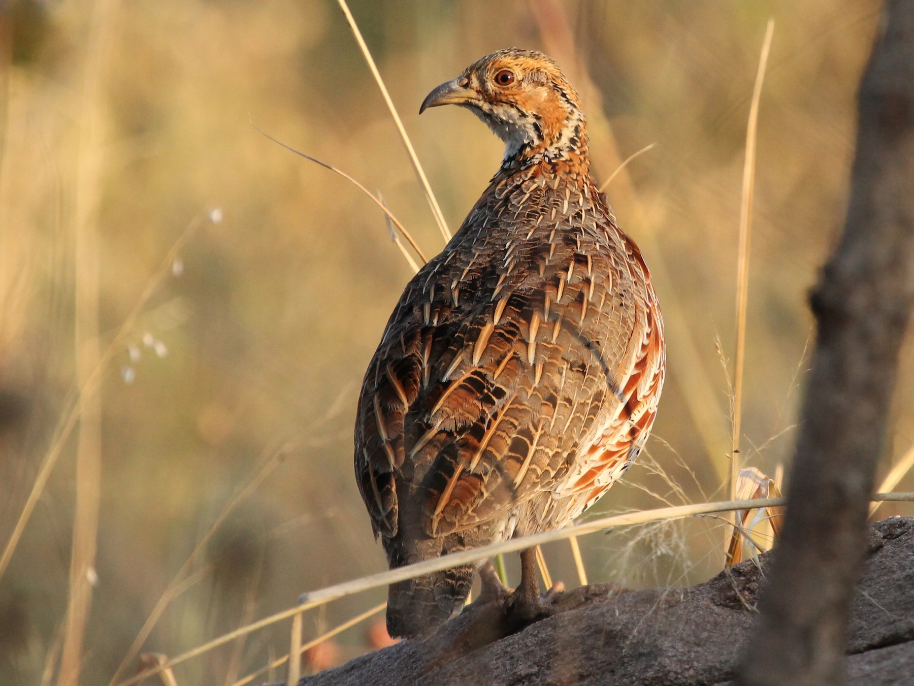Shelley's Francolin - Kyle Gage