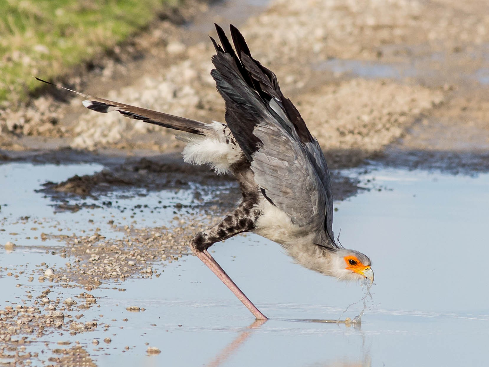 Secretarybird - Antero Topp