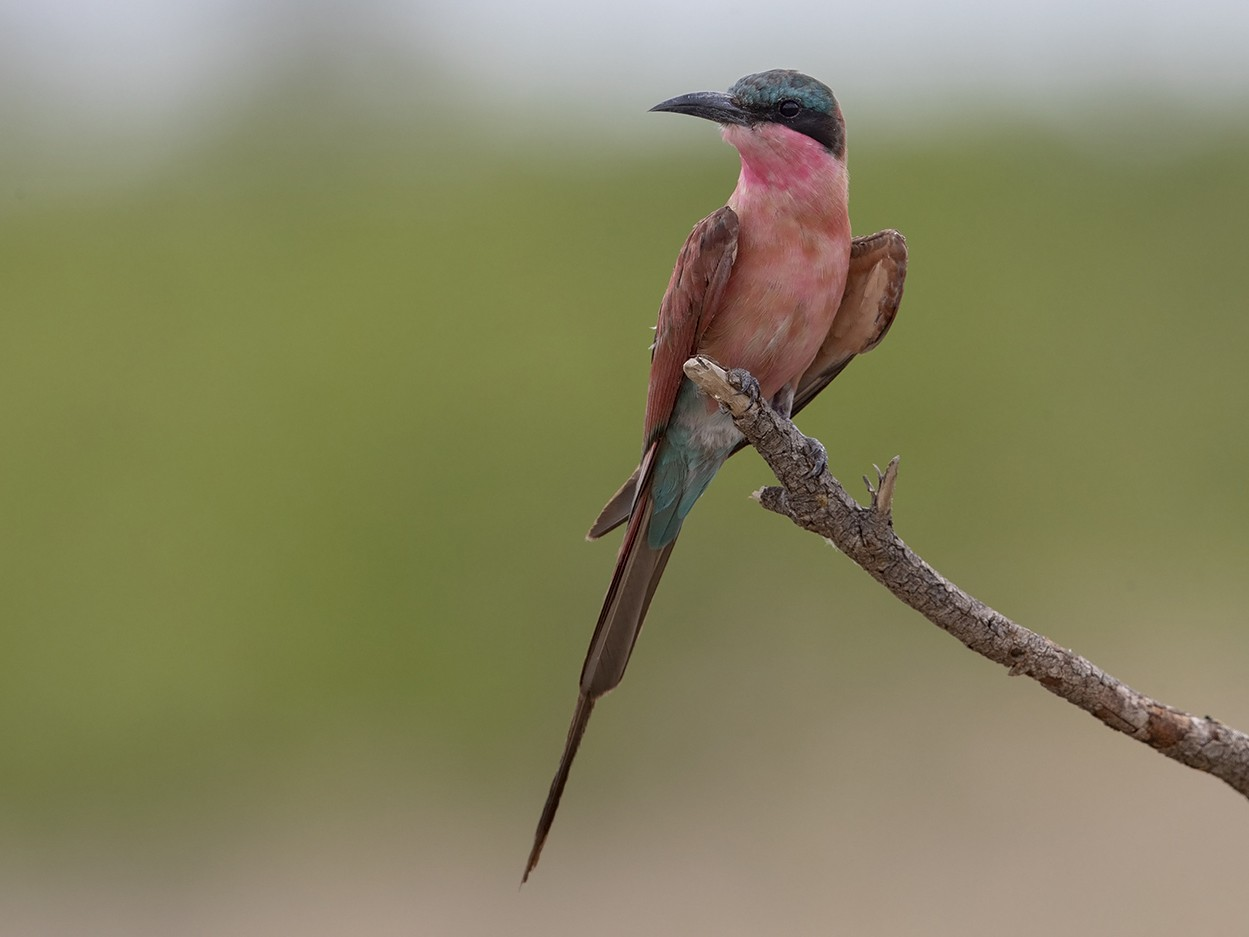 Southern Carmine Bee-eater - Niall D Perrins