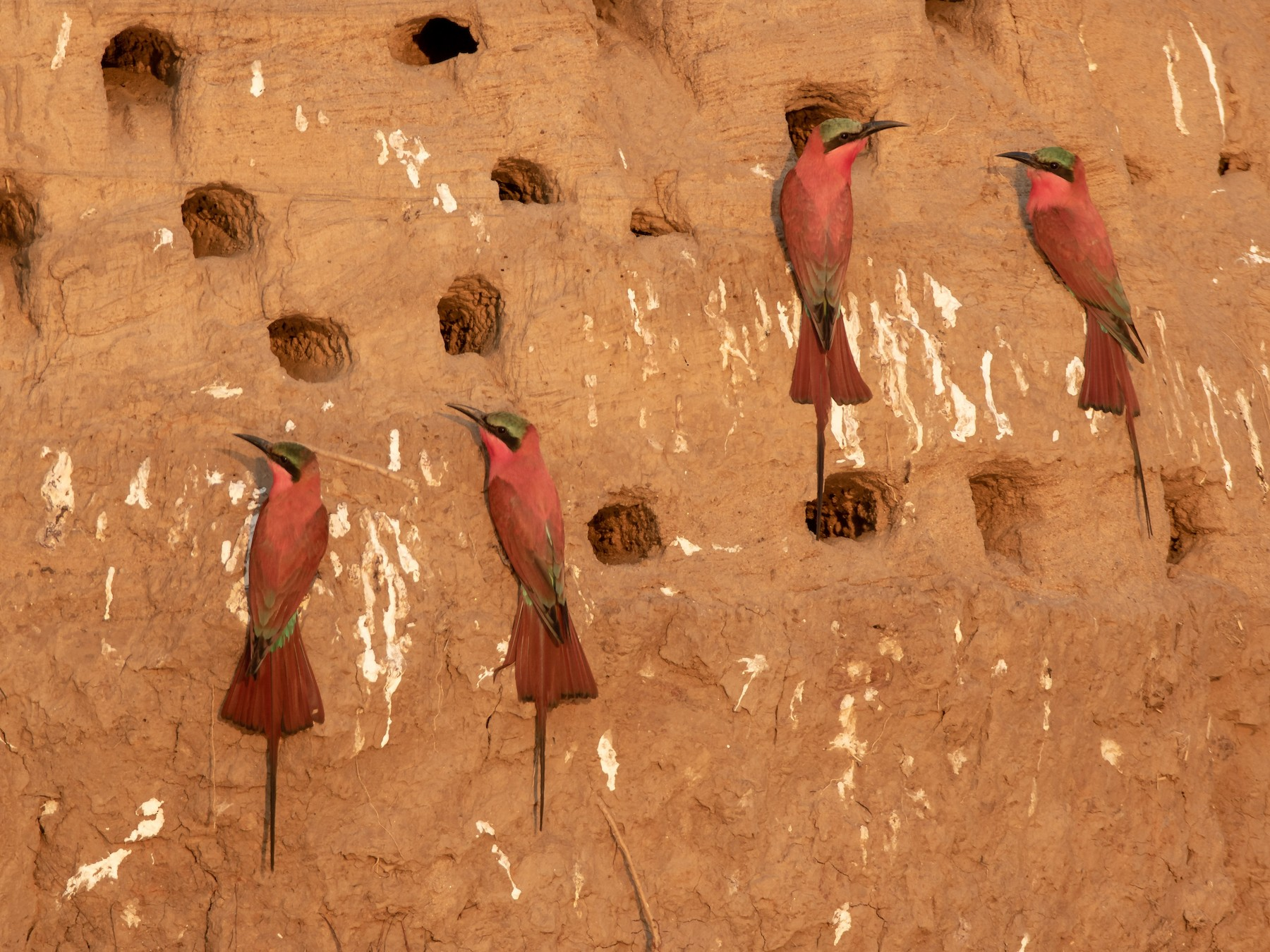 Southern Carmine Bee-eater - Michael Riffel