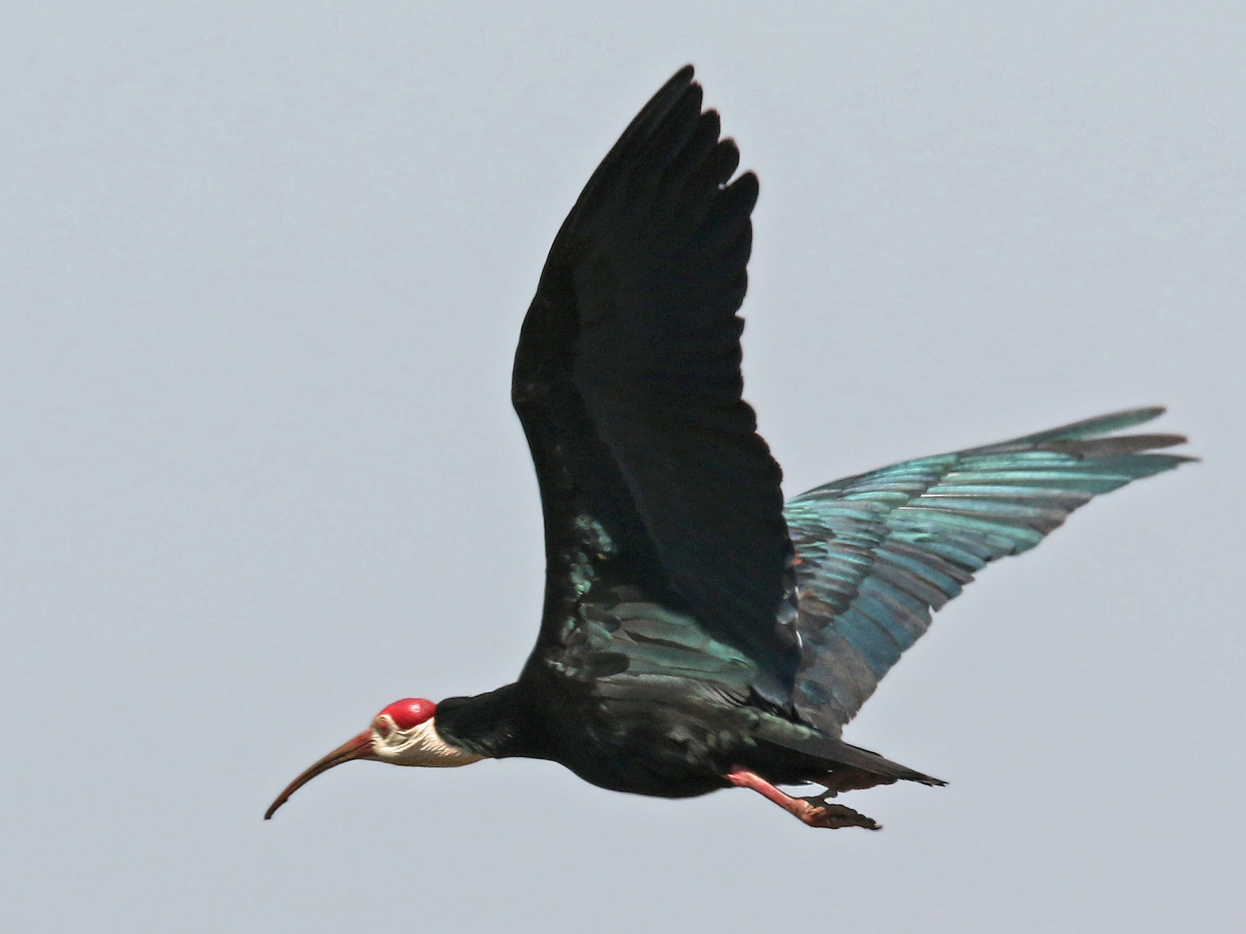Southern Bald Ibis - Volker Hesse