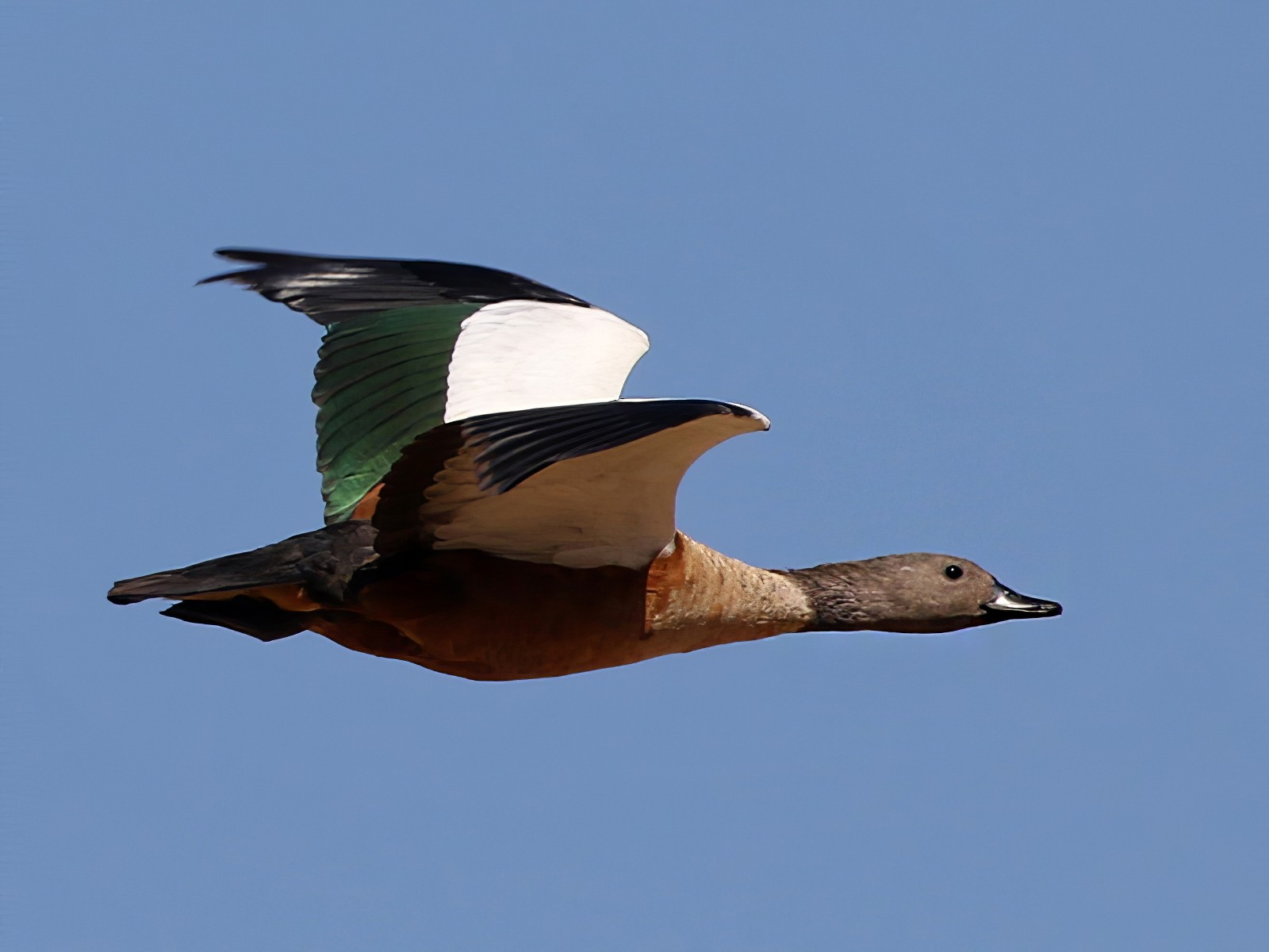 South African Shelduck - Charley Hesse