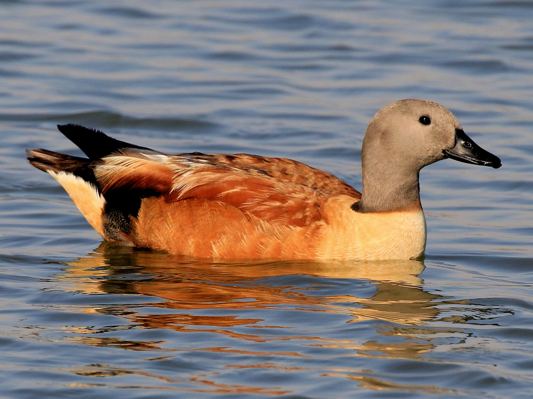 South African Shelduck - Patrick MONNEY