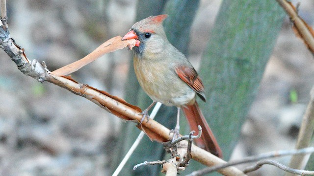 Female Northern Cardinal with nesting material.