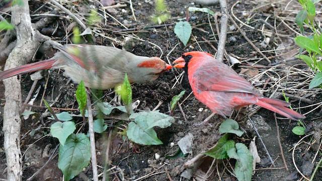 Male Northern Cardinal courtship feeding female.