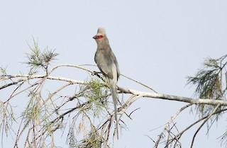 - Red-faced Mousebird