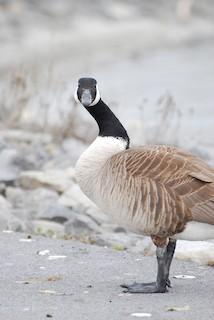 Canada Goose, ML221107281