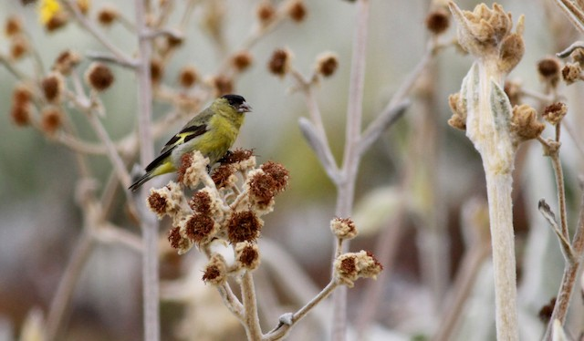 Andean Siskin