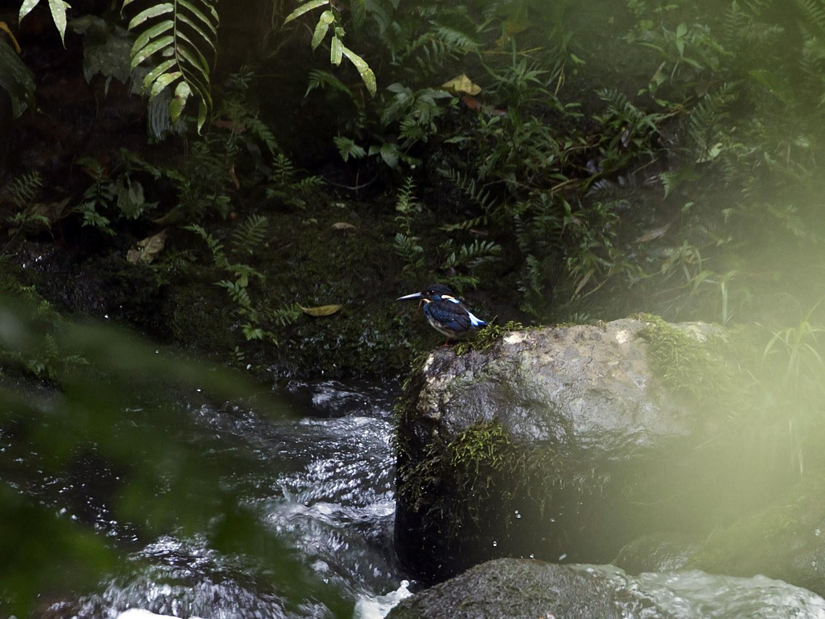 Blue-banded Kingfisher - Daniel Mantle