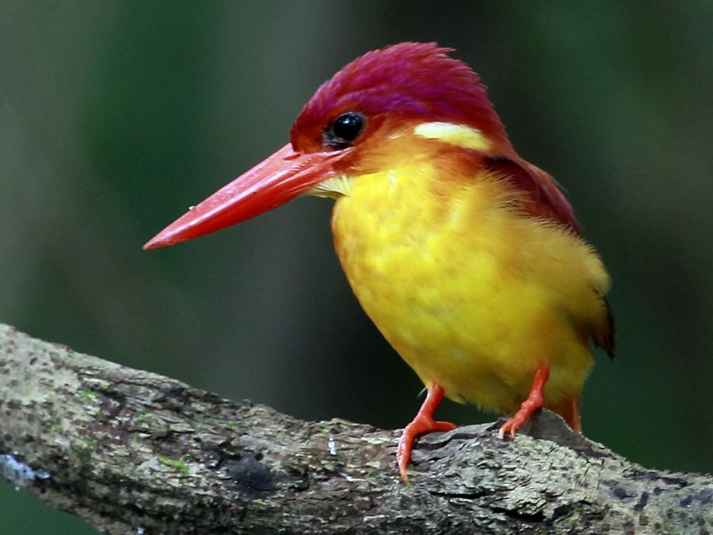 Rufous-backed Dwarf-Kingfisher - Carmelo López Abad