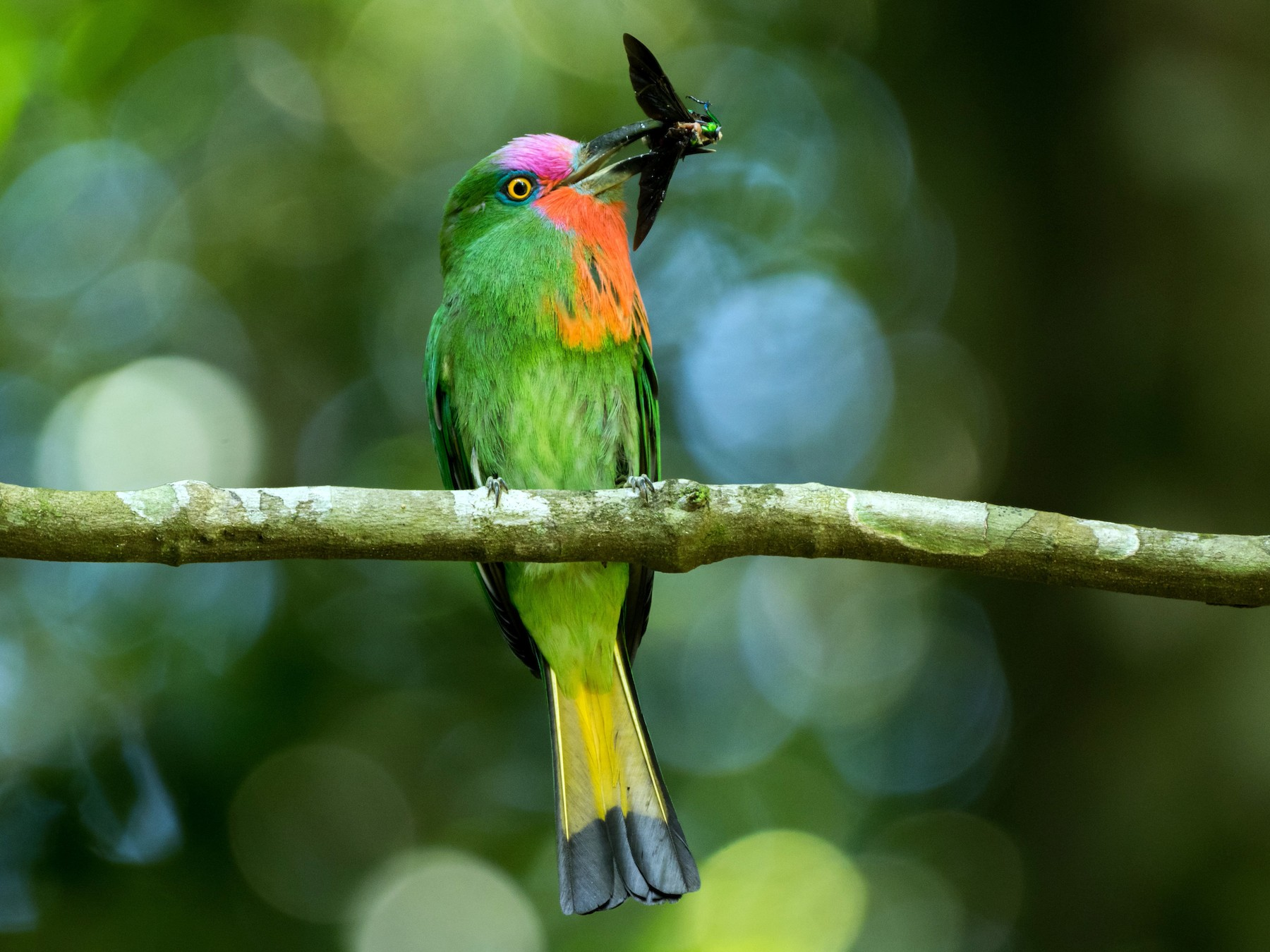 Red-bearded Bee-eater - Andaman Kaosung