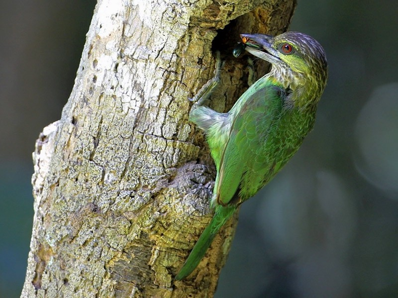 Green-eared Barbet - 独行虾 Bird.soong