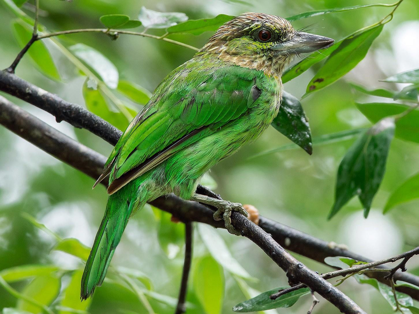 Green-eared Barbet - Natthaphat Chotjuckdikul