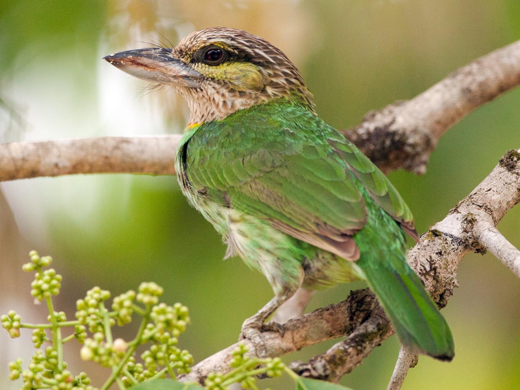 Green-eared Barbet - Wolfe R