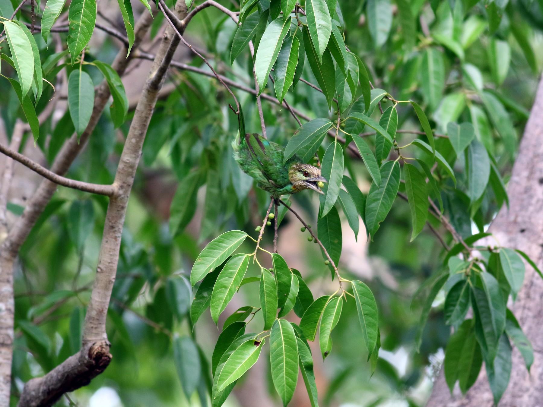 Green-eared Barbet - Sutanan Pinmaneenopparat