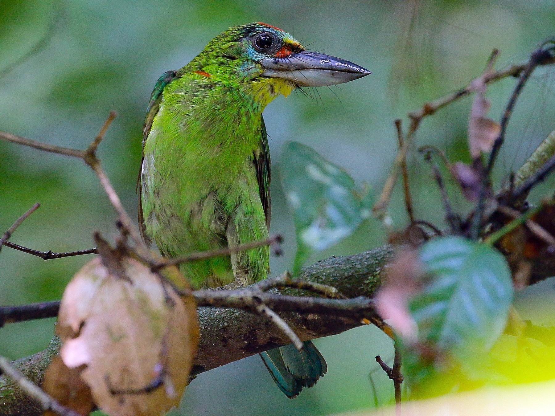 Red-throated Barbet - Neoh Hor Kee