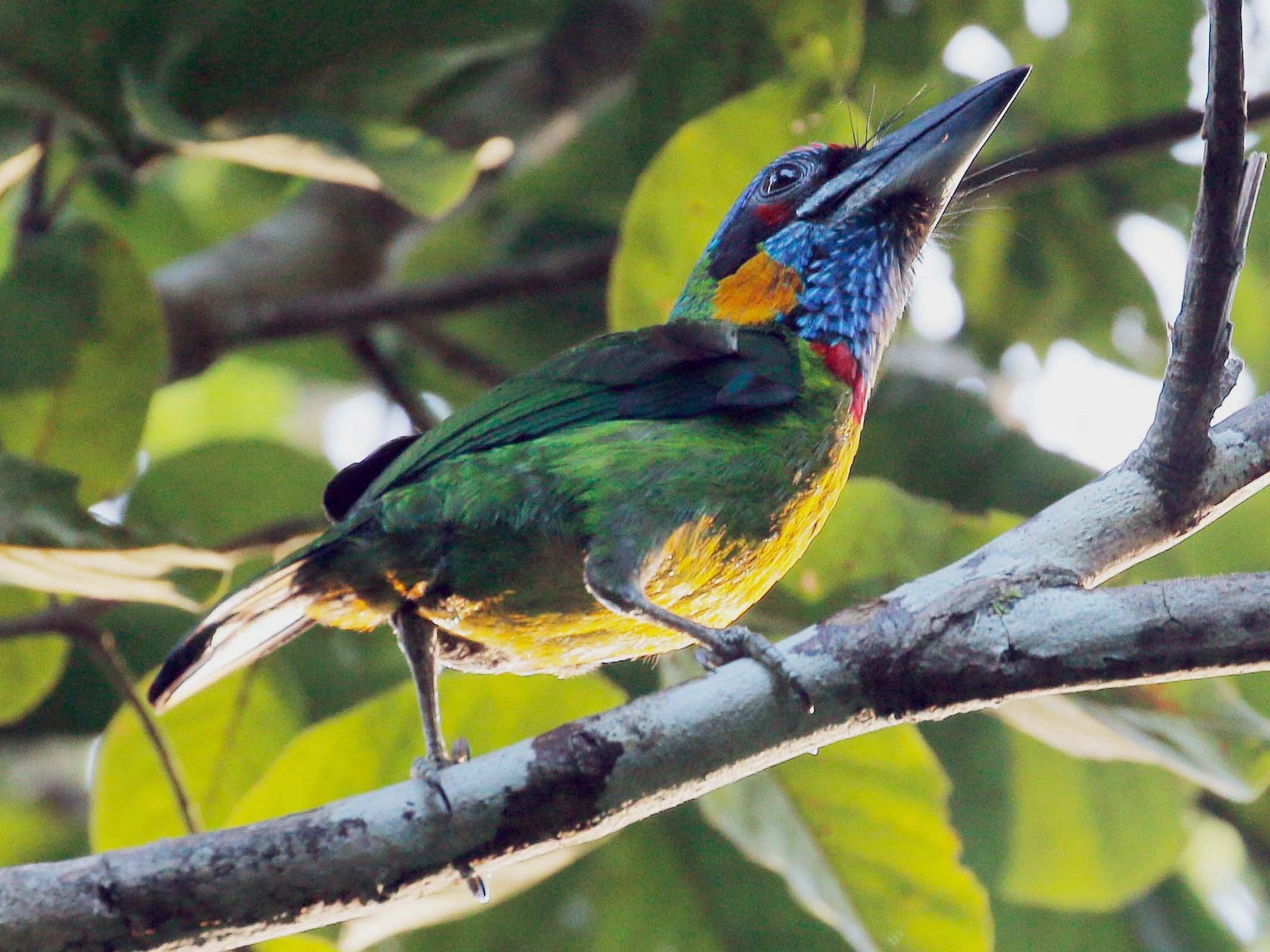 Red-crowned Barbet - Neoh Hor Kee