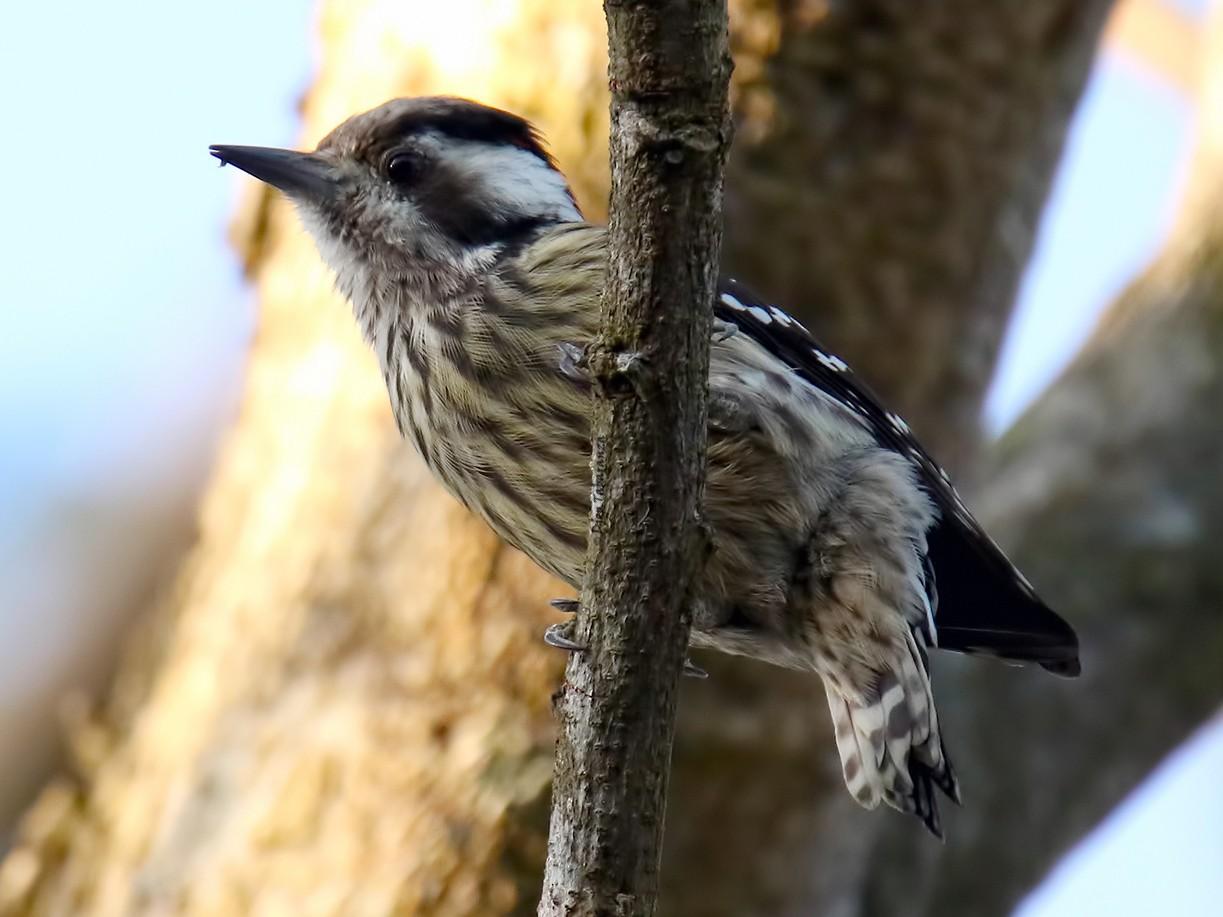 Sunda Woodpecker - Djop Tabaranza