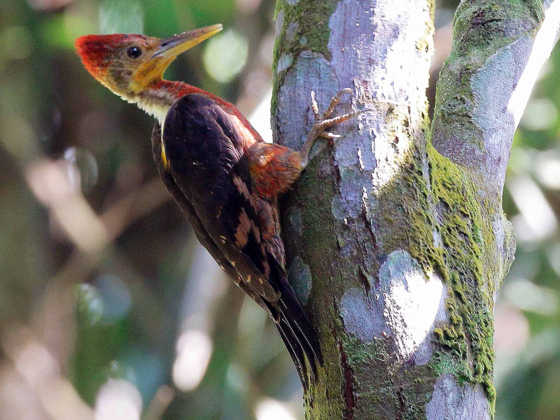 Orange-backed Woodpecker - Neoh Hor Kee